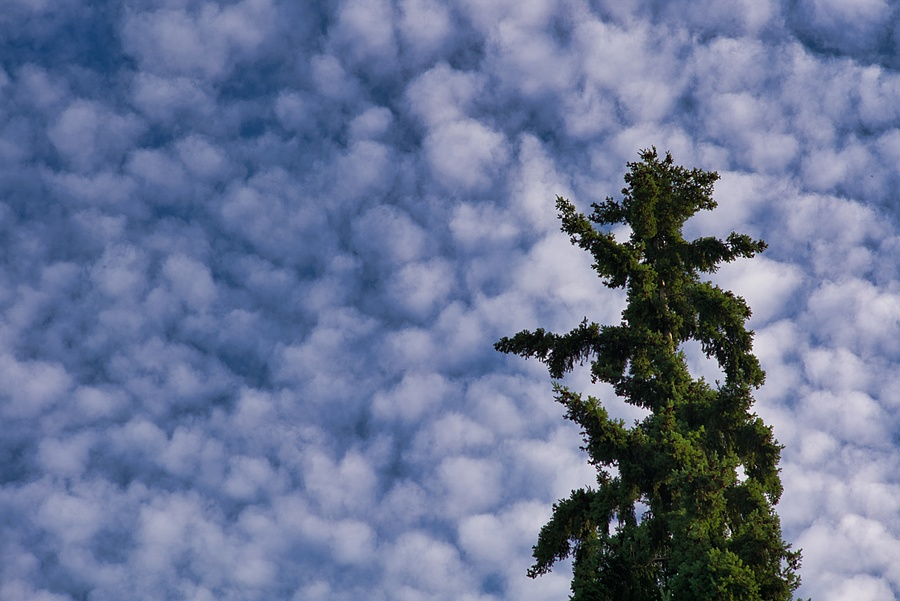 Douglas Fir & Sky | SUMMARIT-M 1:2.4/90 <br> Click image for more details, Click <b>X</b> on top right of image to close