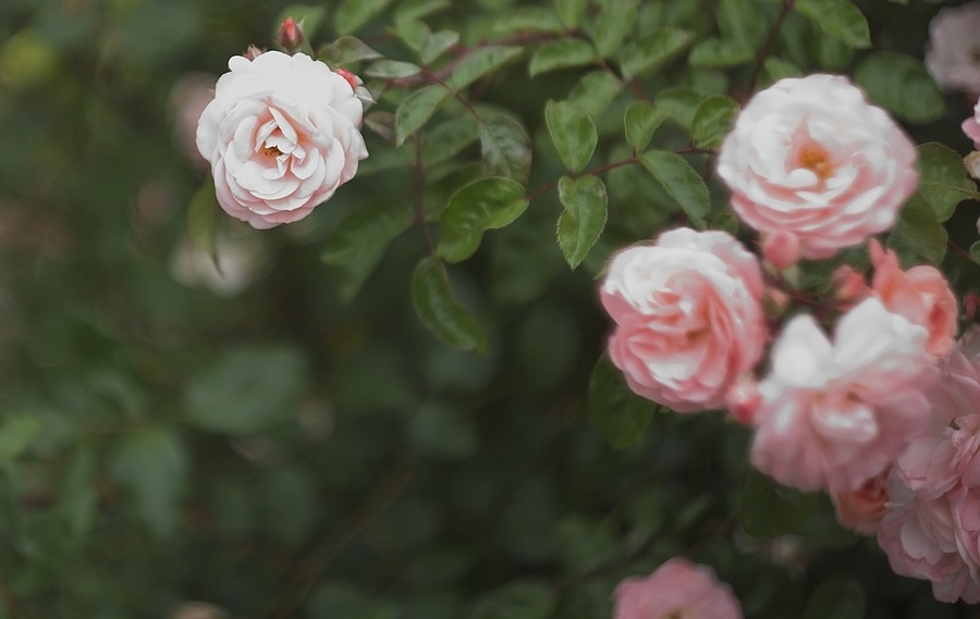 Pink Roses | SUMMARIT 5CM F1.5 <br> Click image for more details, Click <b>X</b> on top right of image to close
