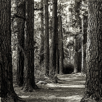 Forest Path | LEICA SUMMICRON 35MM F2 1ST VERSION