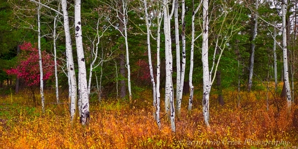 Aspens | LEICA SUMMICRON 50MM F2 <br> Click image for more details, Click <b>X</b> on top right of image to close