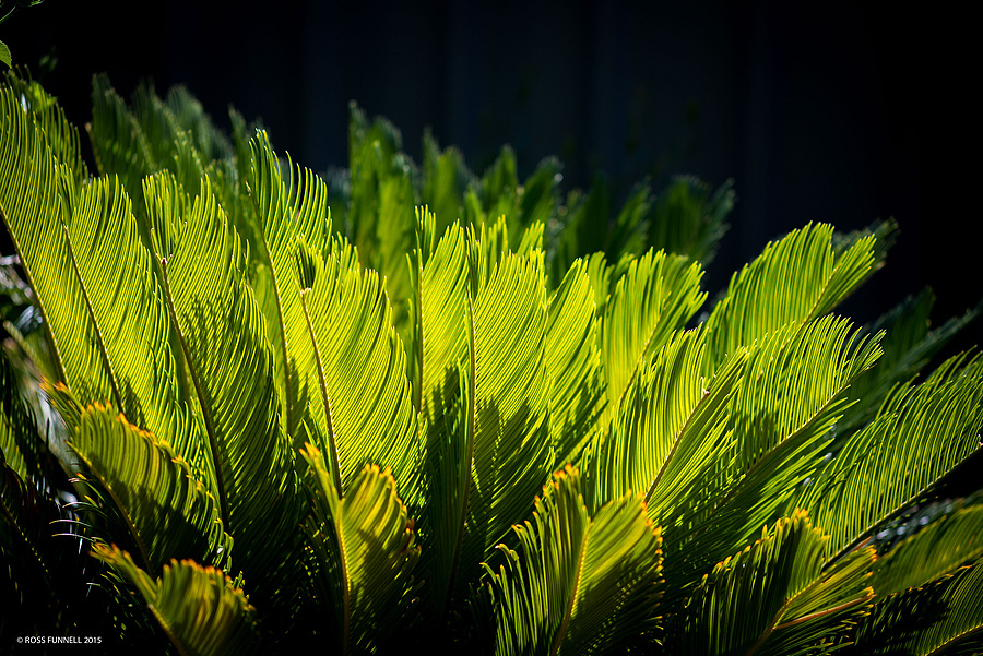 That wonderful sago palm green | LEICA TELE-ELMAR 135MM F/4 <br> Click image for more details, Click <b>X</b> on top right of image to close