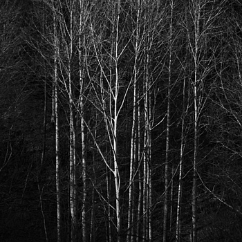 Poplars / R8DMR | LEICA 90MM SUMMICRON 1ST VERSION 1969 <br> Click image for more details, Click <b>X</b> on top right of image to close