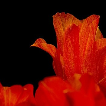 Tulips (400mm) | LENS MODEL NOT SET <br> Click image for more details, Click <b>X</b> on top right of image to close