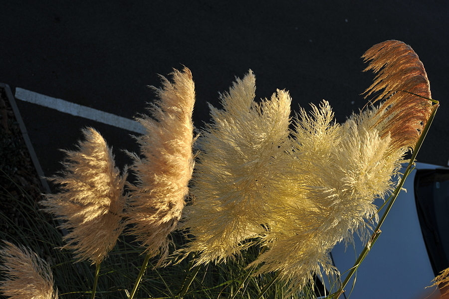 Pampas Grass | LEICA 60MM MACRO ELMARIT 2ND VERSION <br> Click image for more details, Click <b>X</b> on top right of image to close