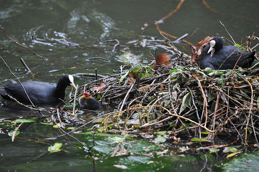 Nesting Coot | LEICA 280MM F/4.0 APO TELYT <br> Click image for more details, Click <b>X</b> on top right of image to close