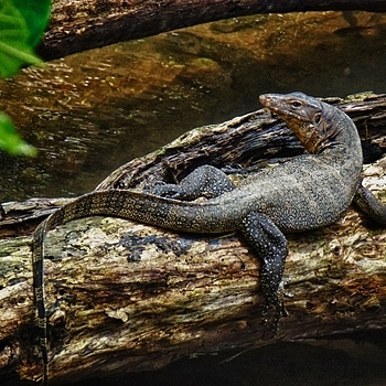 Mangrove Monitor Lizard | LENS MODEL NOT SET