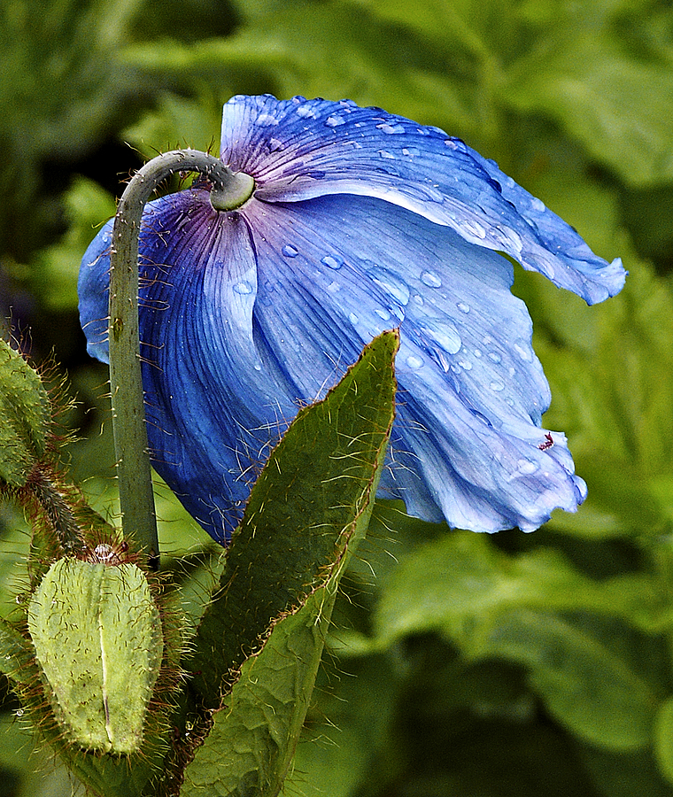 Himalayan Poppy | DC VARIO-ELMARIT 1:2.8-3.7/7.4-88.8 ASPH <br> Click image for more details, Click <b>X</b> on top right of image to close
