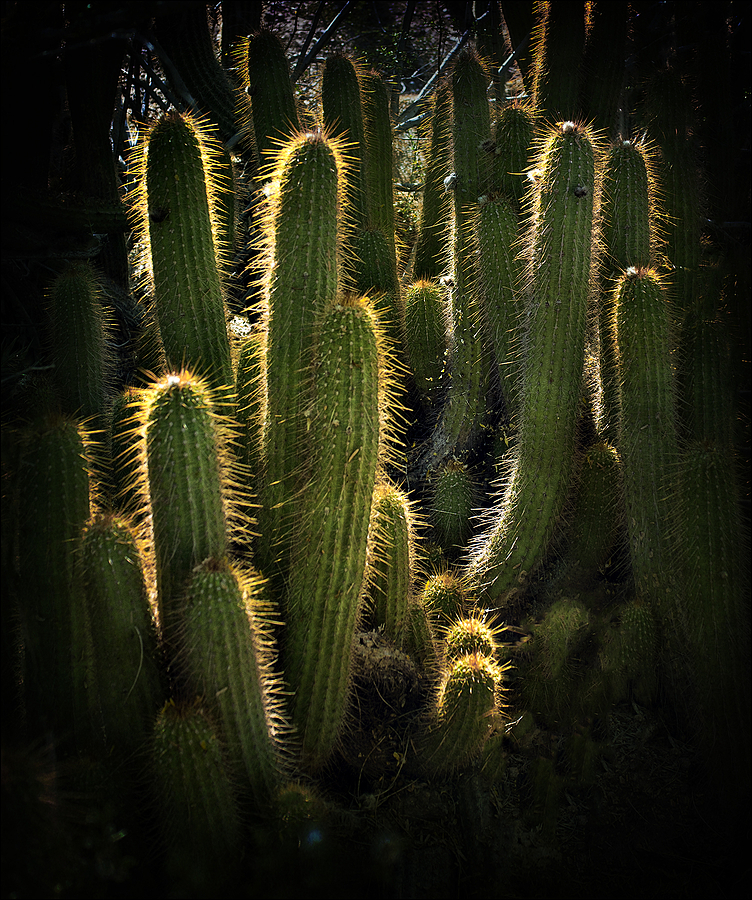 Cacti coronae | DG SUMMILUX 25MM/F1.4 ASPH <br> Click image for more details, Click <b>X</b> on top right of image to close