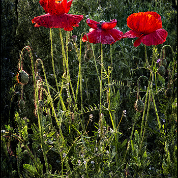 Poppies for Jacques | DC VARIO-SUMMICRON 1:2.0-3.3/5.1-19.2 ASPH