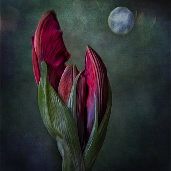 Moon invites Amaryllis to the dance | DG SUMMILUX 25MM/F1.4 ASPH <br> Click image for more details, Click <b>X</b> on top right of image to close
