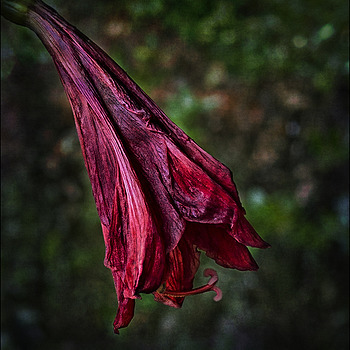 Fading of the amaryllis | DG SUMMILUX 25MM/F1.4 ASPH <br> Click image for more details, Click <b>X</b> on top right of image to close
