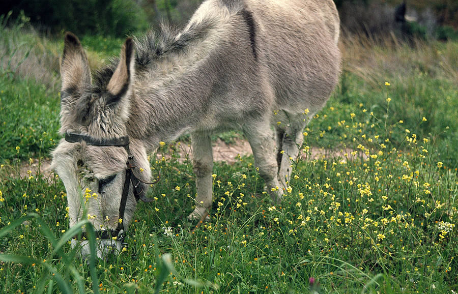 Donkey | LEICA SUMMITAR 50MM F/2 <br> Click image for more details, Click <b>X</b> on top right of image to close