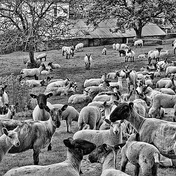 Sheep Composition | X1 ELMARIT 24MM F/2.8 ASPH <br> Click image for more details, Click <b>X</b> on top right of image to close