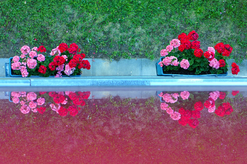 Geraniums and reflection from above | LENS MODEL NOT SET <br> Click image for more details, Click <b>X</b> on top right of image to close