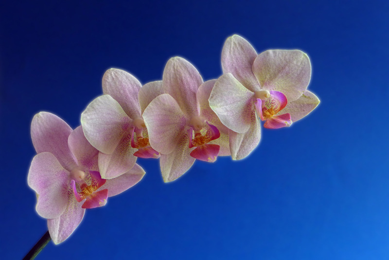 Pink orchids foursome | LENS MODEL NOT SET <br> Click image for more details, Click <b>X</b> on top right of image to close