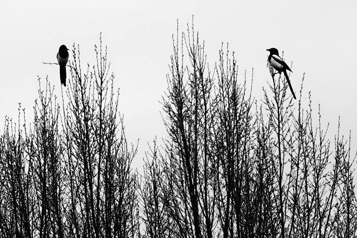 A pair of magpies | LENS MODEL NOT SET <br> Click image for more details, Click <b>X</b> on top right of image to close