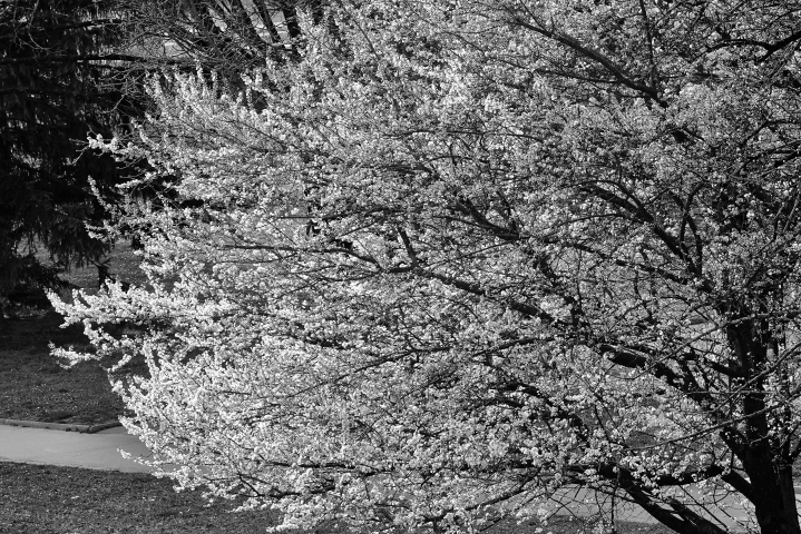 Tree in spring b&w | LENS MODEL NOT SET <br> Click image for more details, Click <b>X</b> on top right of image to close