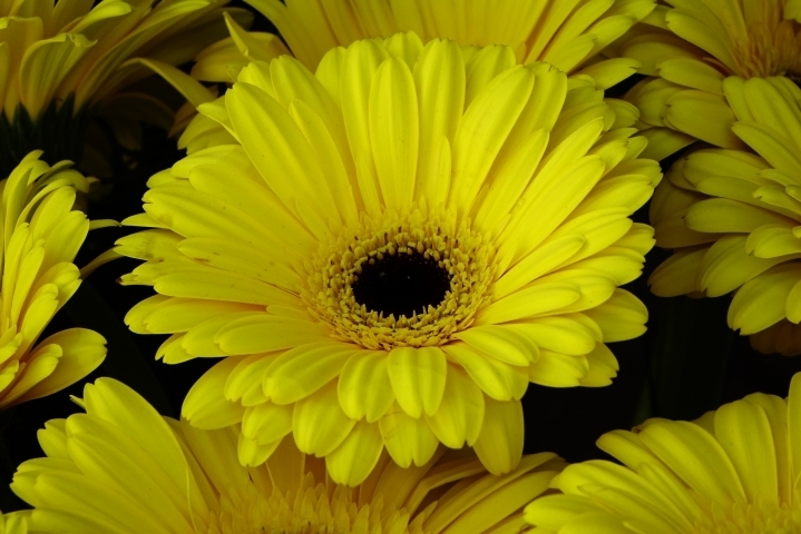 Yellow gerbera | LENS MODEL NOT SET <br> Click image for more details, Click <b>X</b> on top right of image to close