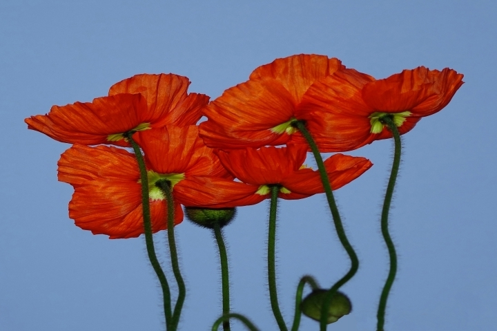 Field poppy | LENS MODEL NOT SET <br> Click image for more details, Click <b>X</b> on top right of image to close