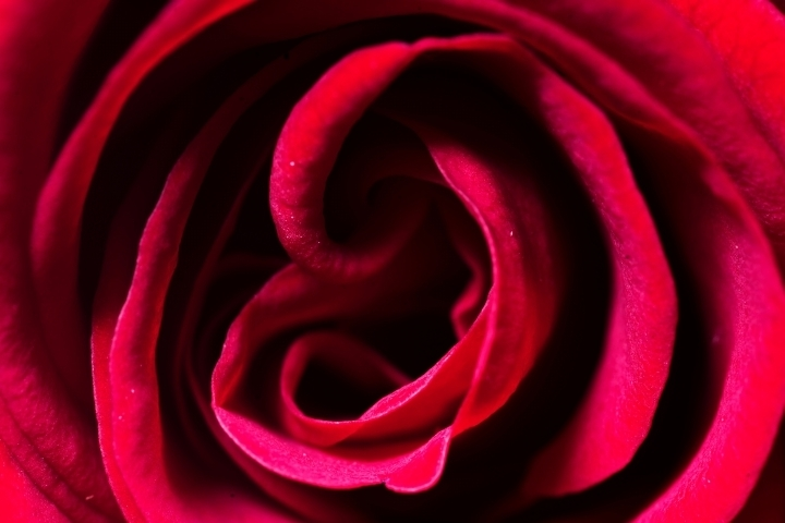 Detail of red rose | LENS MODEL NOT SET <br> Click image for more details, Click <b>X</b> on top right of image to close