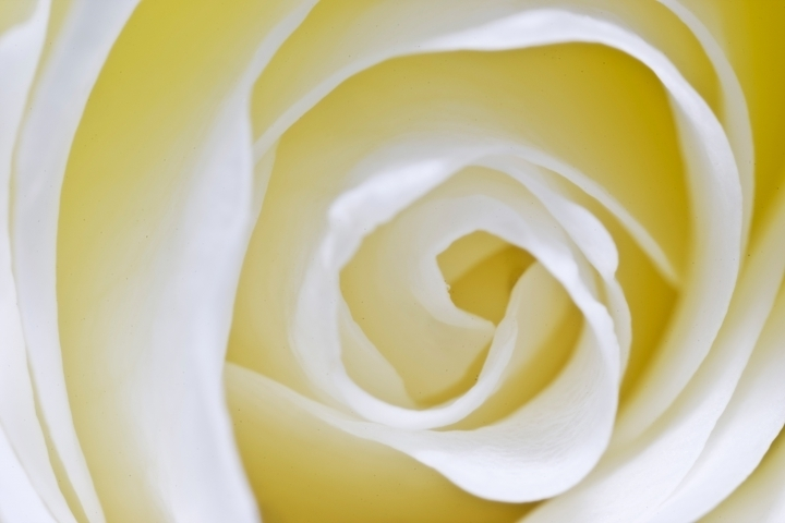 Detail of white rose | LENS MODEL NOT SET <br> Click image for more details, Click <b>X</b> on top right of image to close
