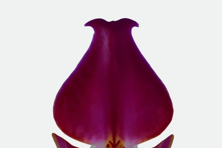 Macro of red orchid | LENS MODEL NOT SET <br> Click image for more details, Click <b>X</b> on top right of image to close