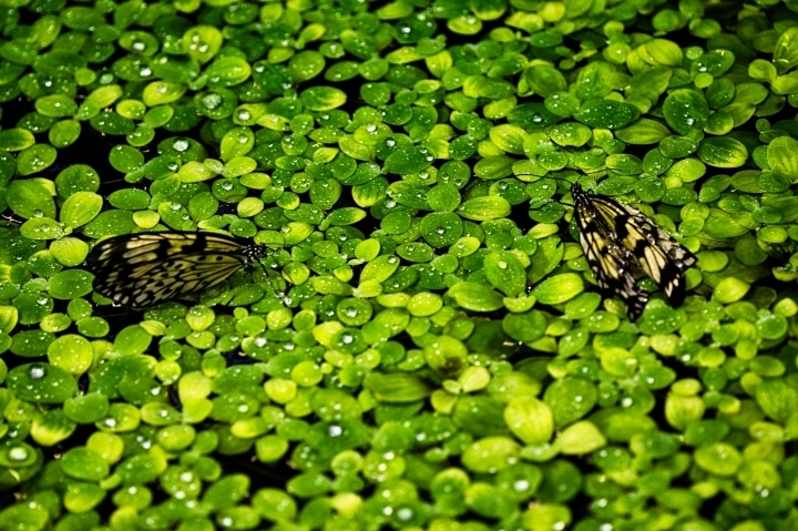 leicaimages.com gallery | Plants in water with 2 butterflies | Lens model not set | LEICA SL (Typ 601)