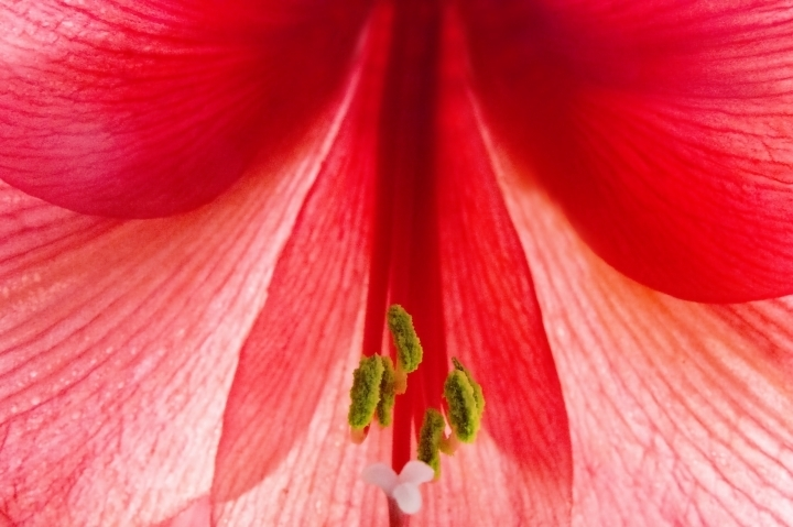 leicaimages.com gallery | Heart of an amaryllis | Lens model not set | LEICA SL (Typ 601)