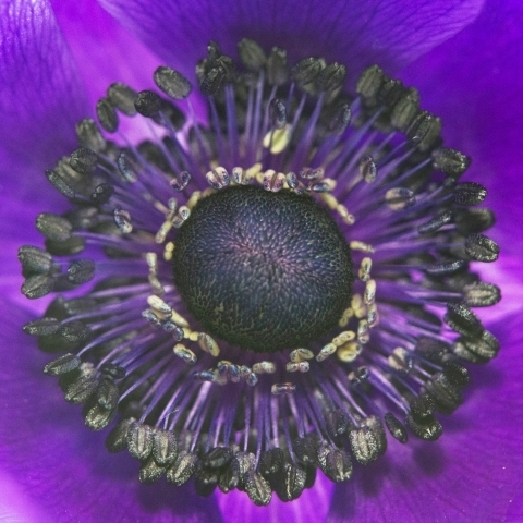 Anemone in blue -detail | LENS MODEL NOT SET <br> Click image for more details, Click <b>X</b> on top right of image to close