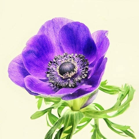 Anemone in blue | LENS MODEL NOT SET <br> Click image for more details, Click <b>X</b> on top right of image to close