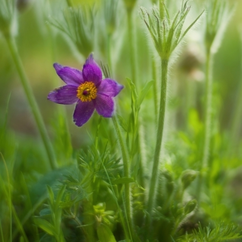 Pasque flower | LENS MODEL NOT SET <br> Click image for more details, Click <b>X</b> on top right of image to close