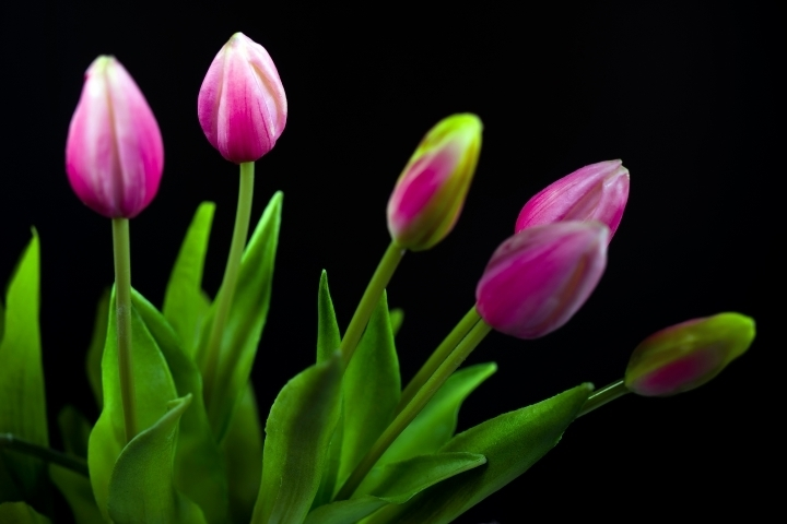 Tulips blossoms | LENS MODEL NOT SET <br> Click image for more details, Click <b>X</b> on top right of image to close