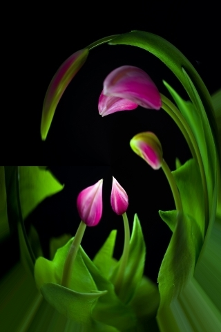 Tulips say good night | LENS MODEL NOT SET <br> Click image for more details, Click <b>X</b> on top right of image to close