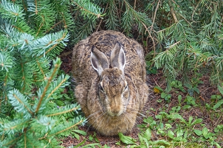 Rabbit under fir tree | LENS MODEL NOT SET <br> Click image for more details, Click <b>X</b> on top right of image to close
