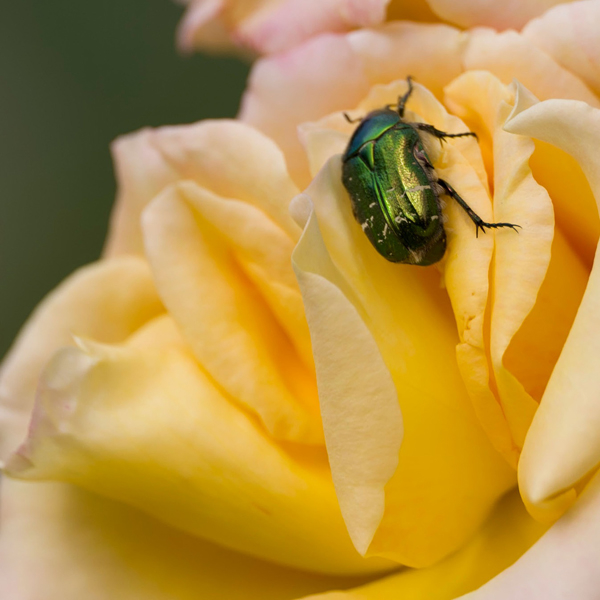 Emerald beetle on rose | LENS MODEL NOT SET <br> Click image for more details, Click <b>X</b> on top right of image to close
