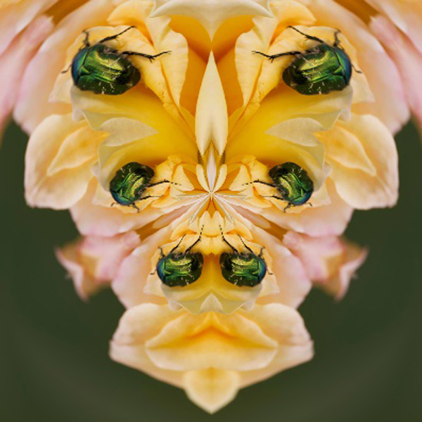 Emerald beetle on rose processed | LENS MODEL NOT SET <br> Click image for more details, Click <b>X</b> on top right of image to close