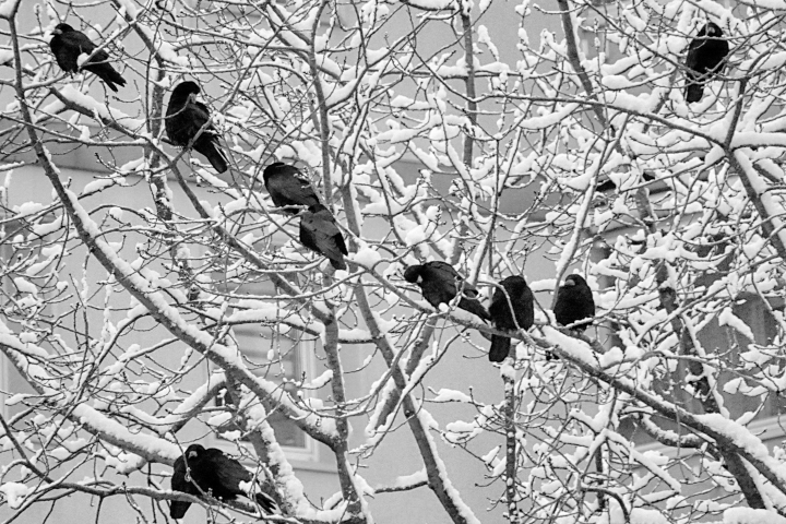Black birds in snow | LENS MODEL NOT SET <br> Click image for more details, Click <b>X</b> on top right of image to close