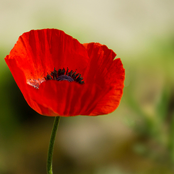 Single poppy | LENS MODEL NOT SET <br> Click image for more details, Click <b>X</b> on top right of image to close