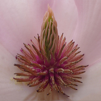 Heart of a magnolia | LENS MODEL NOT SET <br> Click image for more details, Click <b>X</b> on top right of image to close