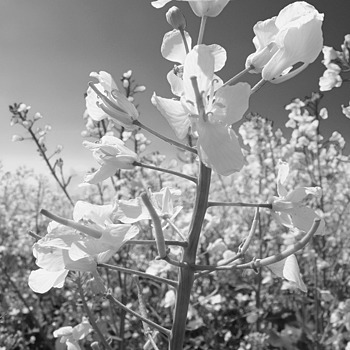 Rape blossom against sky b & w | LENS MODEL NOT SET <br> Click image for more details, Click <b>X</b> on top right of image to close