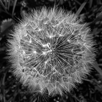 Dandelion from above b&w | LENS MODEL NOT SET <br> Click image for more details, Click <b>X</b> on top right of image to close