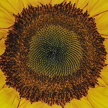 View of a sunflower | LENS MODEL NOT SET