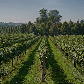 Vineyards nearby Linz | LENS MODEL NOT SET <br> Click image for more details, Click <b>X</b> on top right of image to close