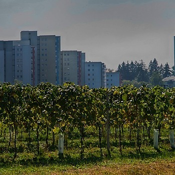 Vineyards nearby Linz
