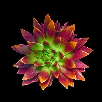 Echeveria | LENS MODEL NOT SET <br> Click image for more details, Click <b>X</b> on top right of image to close
