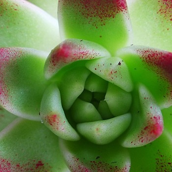 Echeveria | LENS MODEL NOT SET