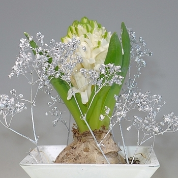Hyacinth with blossom | LENS MODEL NOT SET <br> Click image for more details, Click <b>X</b> on top right of image to close