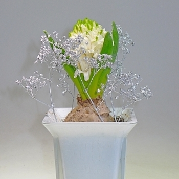 Hyacinth with blossom