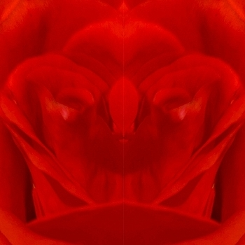 Face of red rose