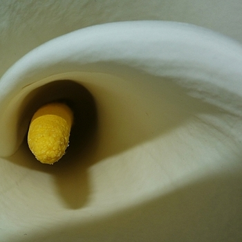 Calla lily inside | LENS MODEL NOT SET <br> Click image for more details, Click <b>X</b> on top right of image to close